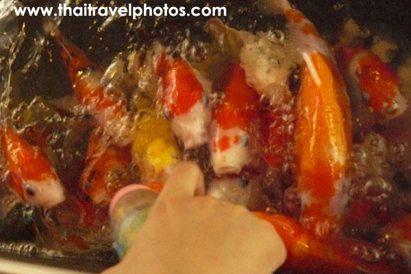 ป้อนนมปลาคาล์ฟสวนเสือศรีราชา
